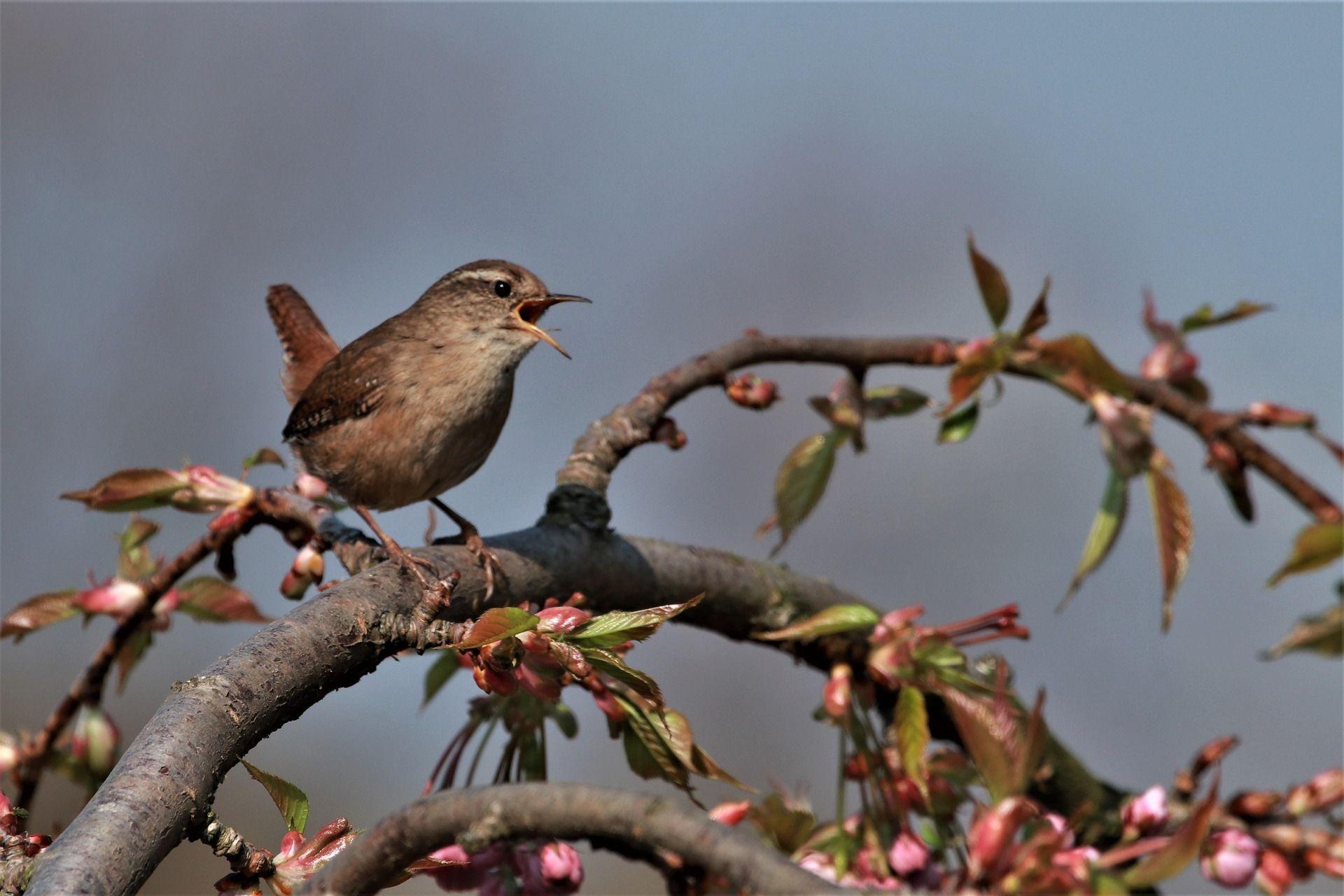 Laulava lintu oksalla